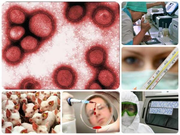 Свиной грипп и COVID-19 — сходства и отличия, симптомы и лечение